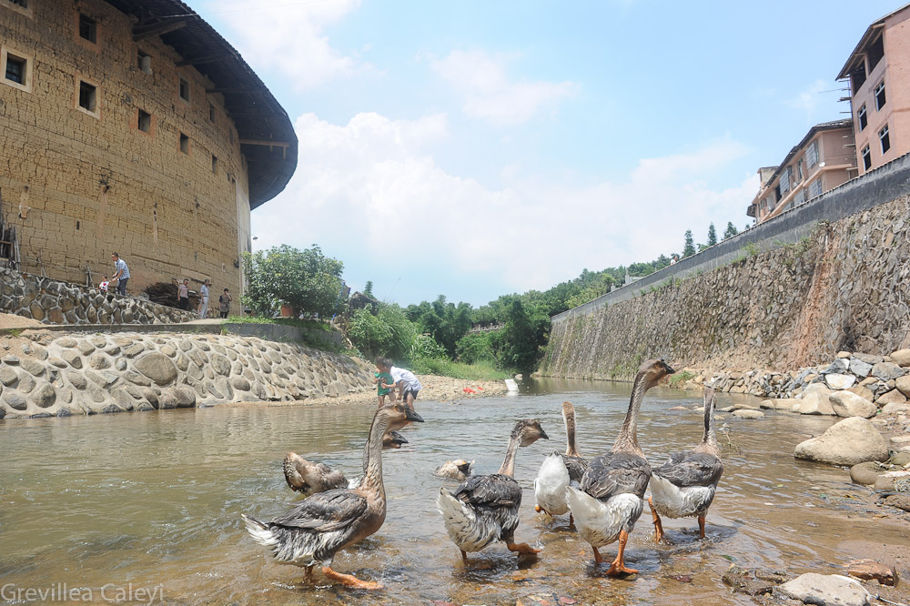 Geese in river running by Yongding tulou.