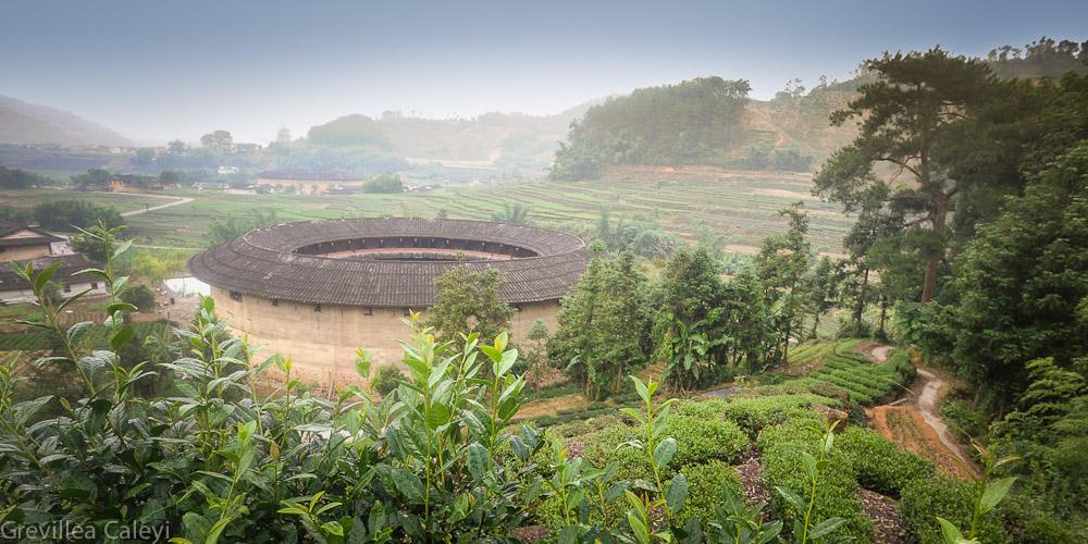 Tulou amidst tea hedges, Hu'an County.
